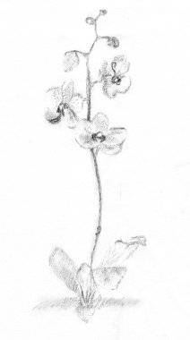 Flower in Japanese style, . Pencil drawing by Katerina Wood
